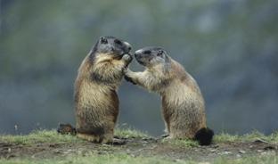 Les marmottes de Merlet