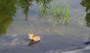 Le renard et le bassin…