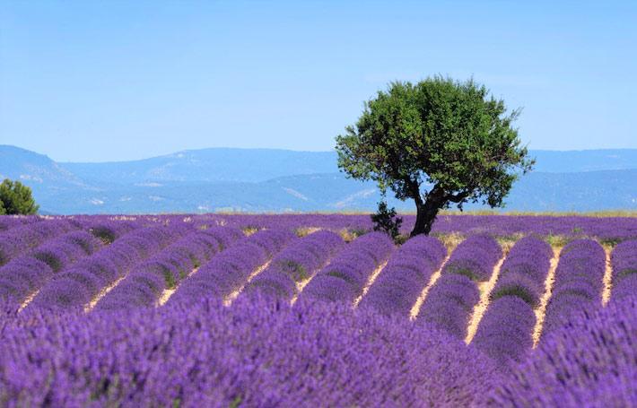 Découvrez la Provence et ses champs de lavande